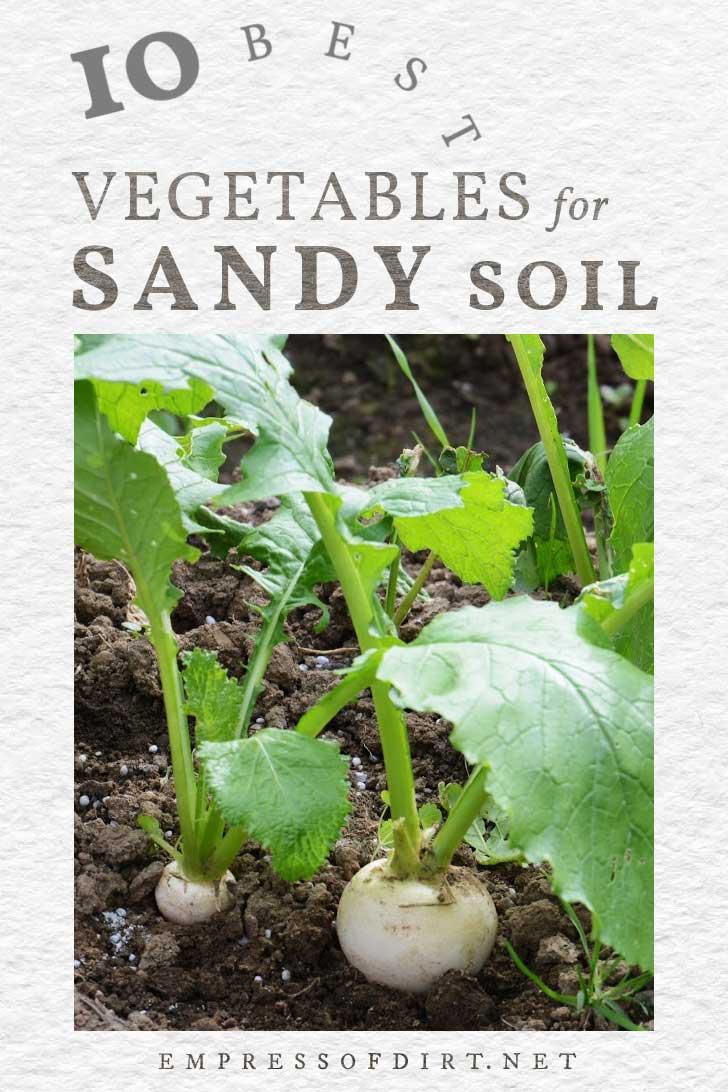 Turnips growing in sandy soil.