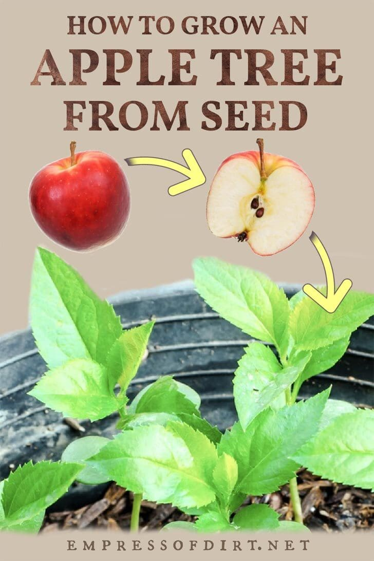 Apple tree seedlings sprouted from apple seeds.