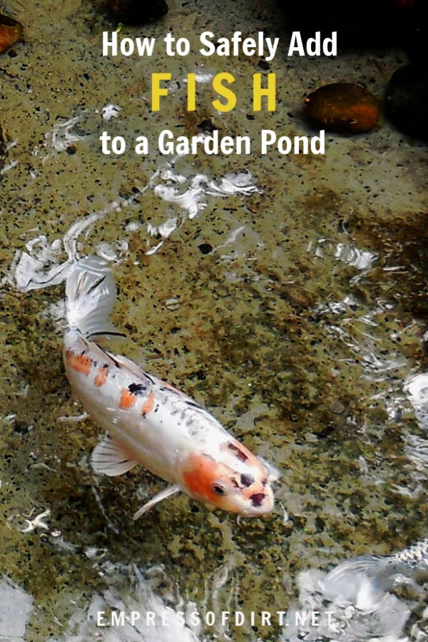 How to safely add fish to a backyard garden pond.