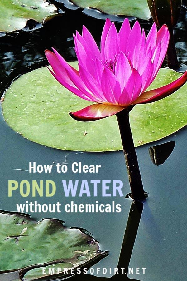 How to quickly clear murky green pond water without chemicals.