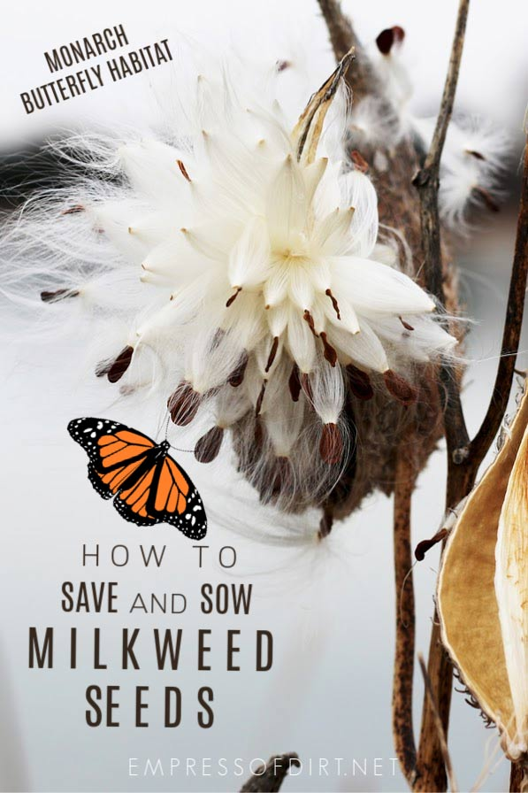 How to collect and sow milkweed seeds to provide monarch butterfly habitat.