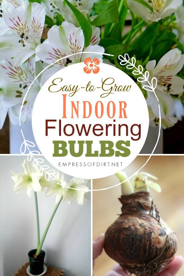 How to force flower bulbs indoors