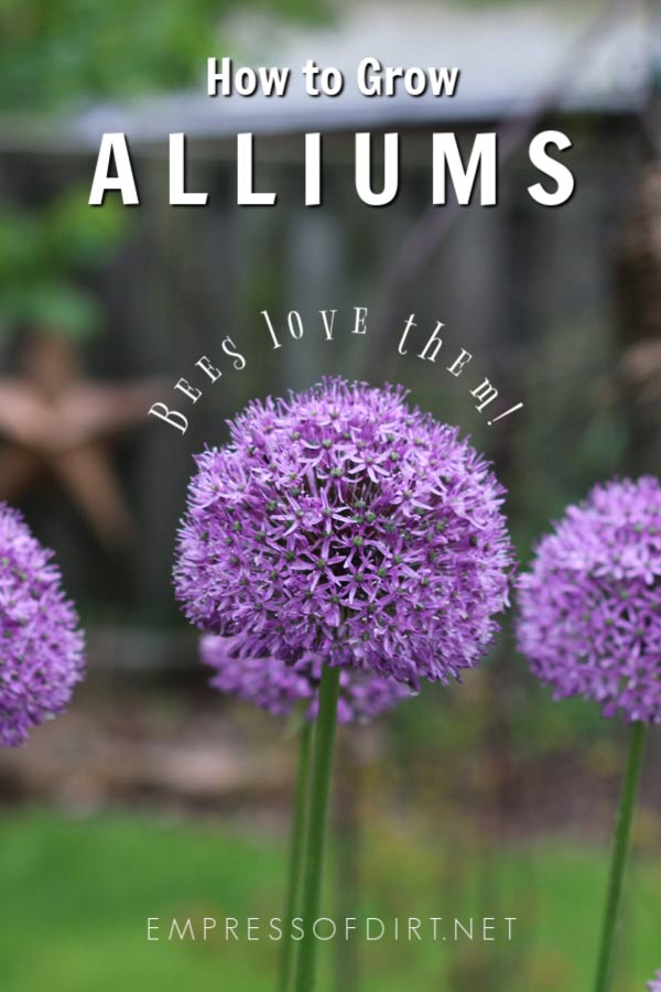 Allium Growing Tips