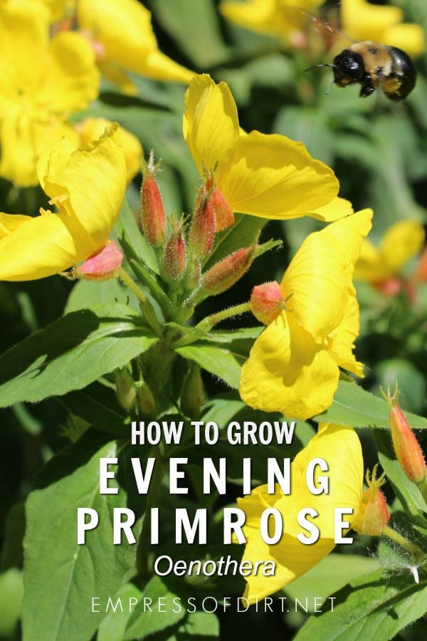 How to grow evening primrose (Oenothera) in your home garden.