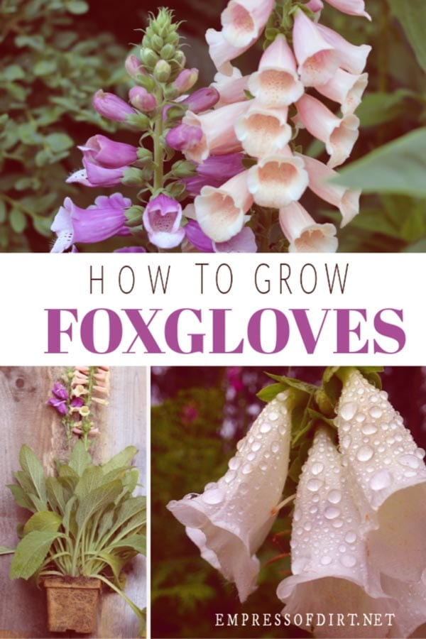 How to grow foxgloves.