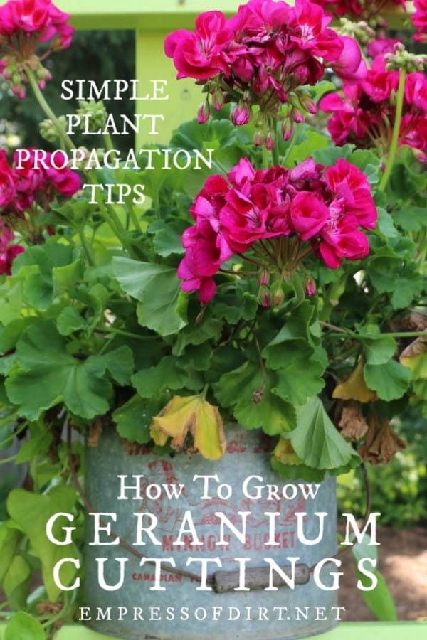How to grow geranium cuttings for free plants from the ones you have.