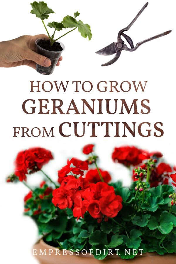 Taking cuttings from red geranium plants (Pelargoiniums) to propagate for new plants.