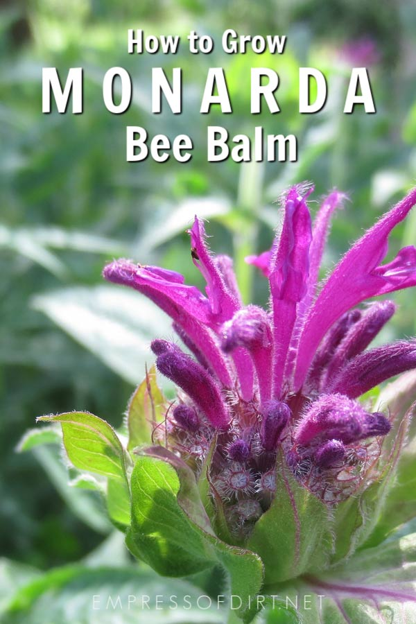 How to grow monarda bee balm.