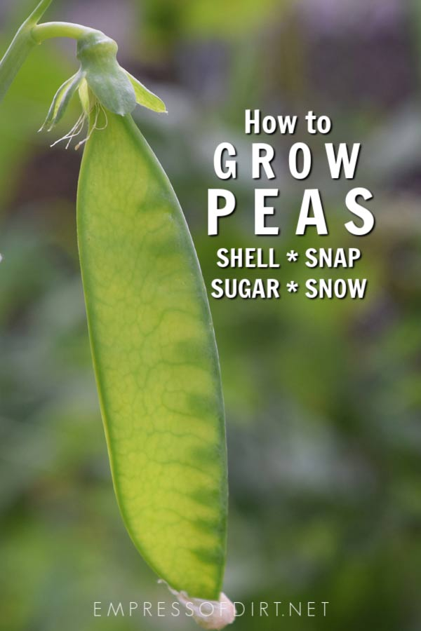 How to Grow Peas | Shell Snap Sugar Snow