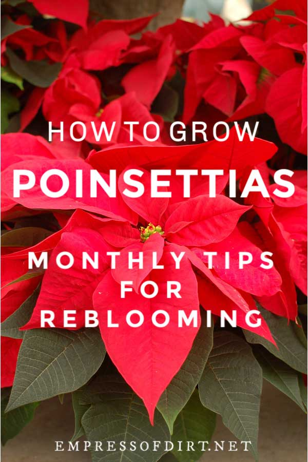 Red poinsetta bracts and flowers.