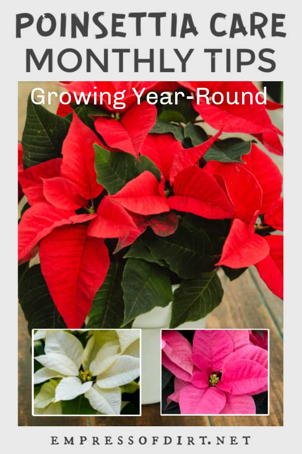 Red, pink, and white poinsettia bracts and flowers.