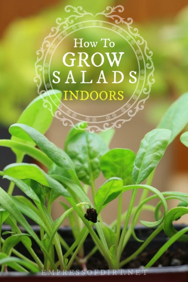 Yes, you can grow leaf lettuce in your home. See how to grow salad greens indoors all year-round.