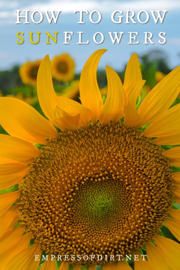 How to Grow Sunflowers and What to Avoid