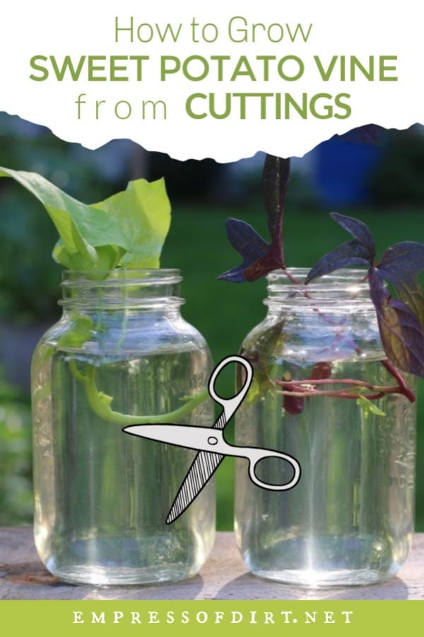 Sweet potato vine cuttings in jars of water.