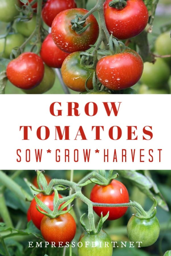 5 Best Tomato Growing Tips For Beginners Empress Of Dirt