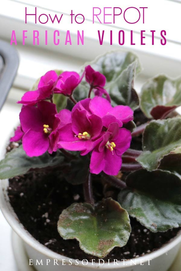 How to Repot African Violets