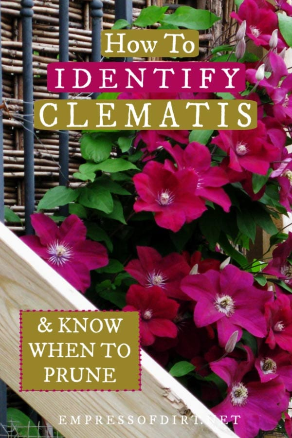 How to identify types of clematis and know what you are growing.