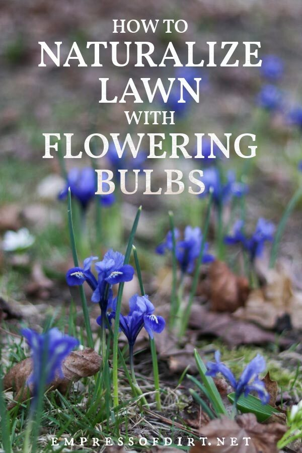 Blue flowering bulbs on a naturalized lawn.
