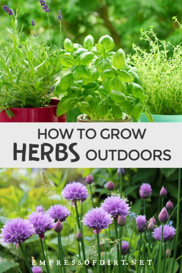 Herbs growing outdoors.