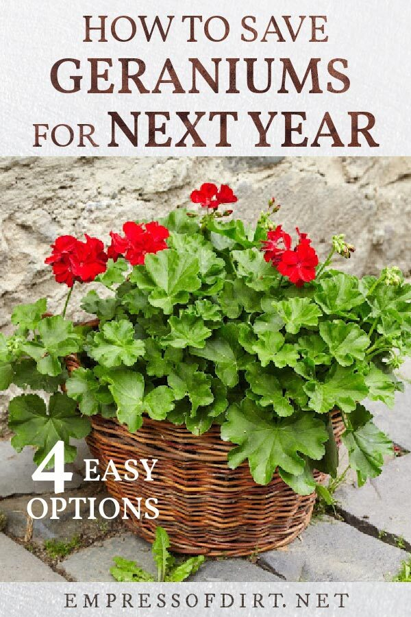 Basket of red geraniums (Pelargoniums) ready for winter storage.