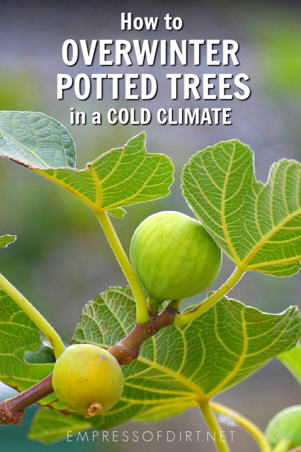 How to safely store potted trees over the winter in a cold climate.