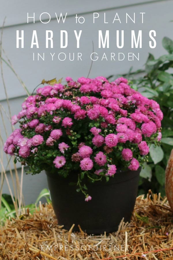 How to grow grocery store mums outdoors as year-round perennials.