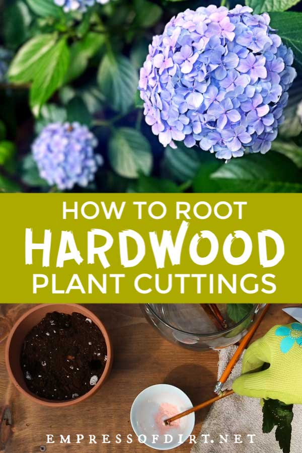 Growing hardwood cuttings from hydrangeas and other plants.