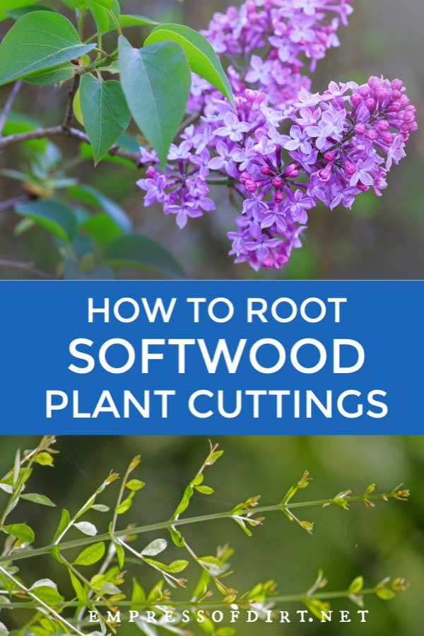 Lilac blooms and privet hedge: take softwood cuttings to propagate them.