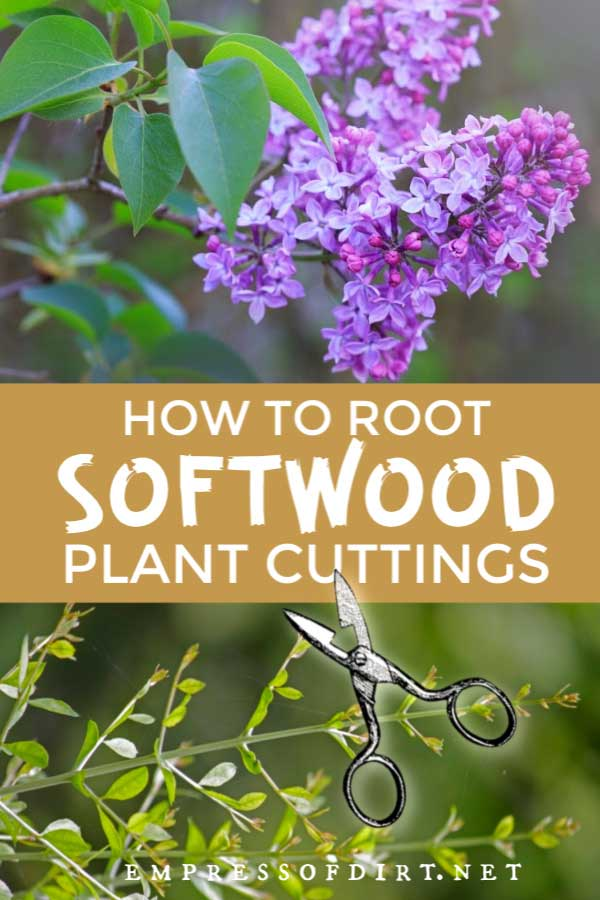 Examples of plants suitable for softwood cuttings.