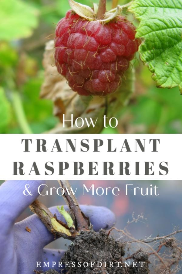 How to Transplant Raspberries and Grow More Fruit