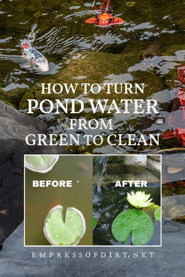 Examples of pond water before and after using the clean pond trick.