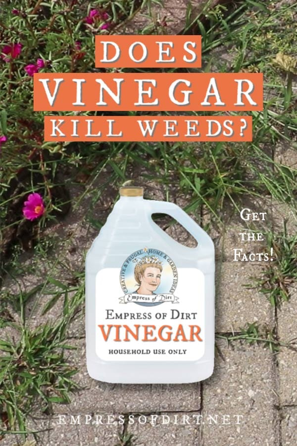 Find out if household vinegar does kill weeds in the garden or not.