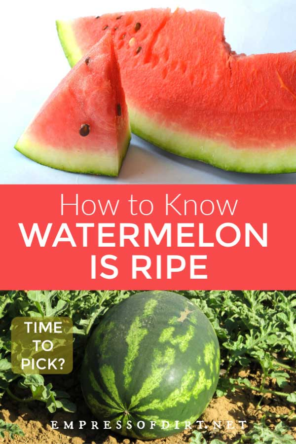Slices of watermelon and a watermelon ripening in the garden.