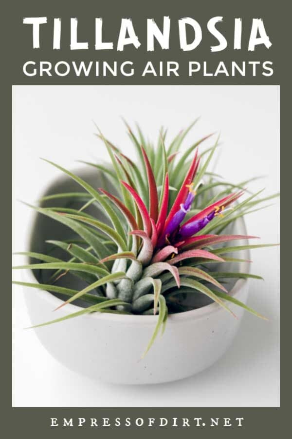 How to Grow Air Plants (Tillandsias)