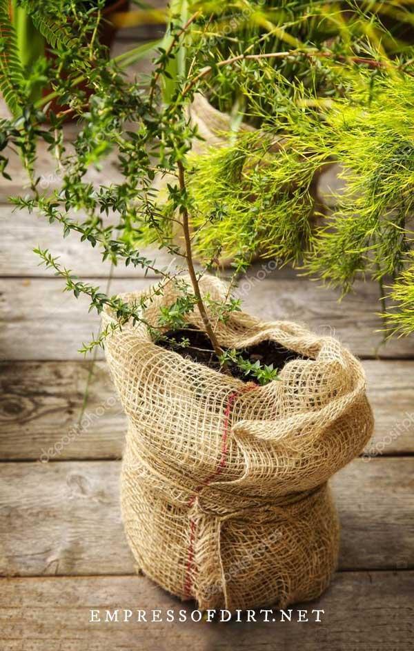 Plant in burlap sack.