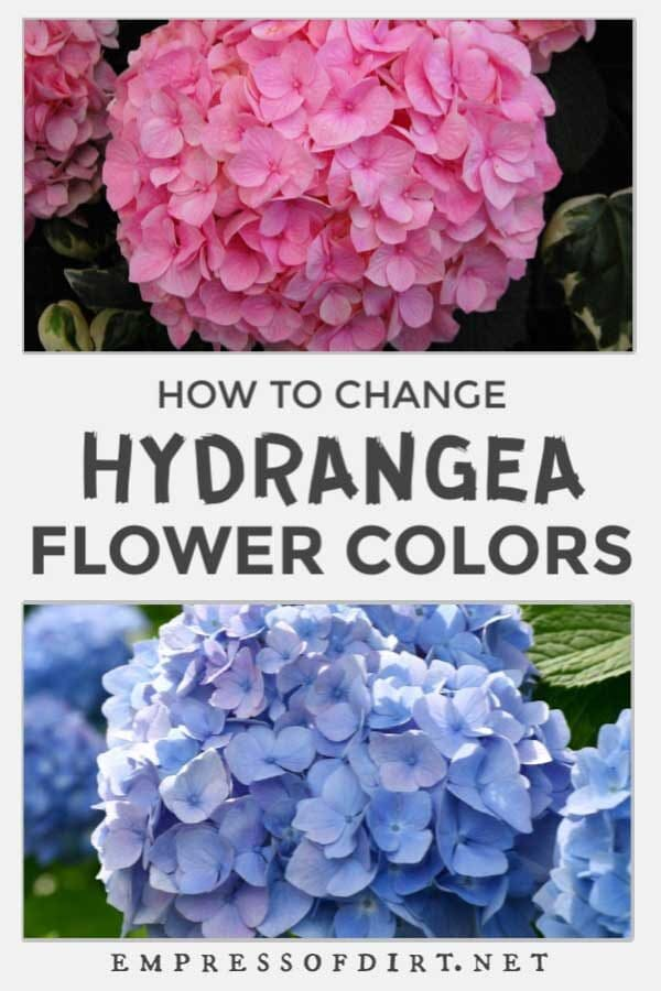 Hydrangeas Blooms: How to Change From Pink to Blue (or Vice Versa)