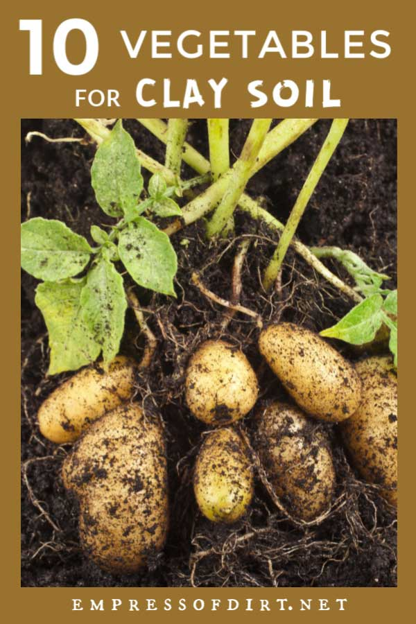 Potatoes are one example of vegetables that can tolerate clay soil.