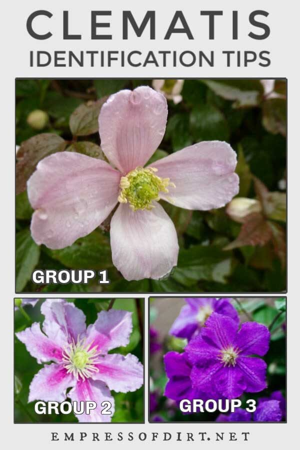 Types of Clematis and How to Identify Yours