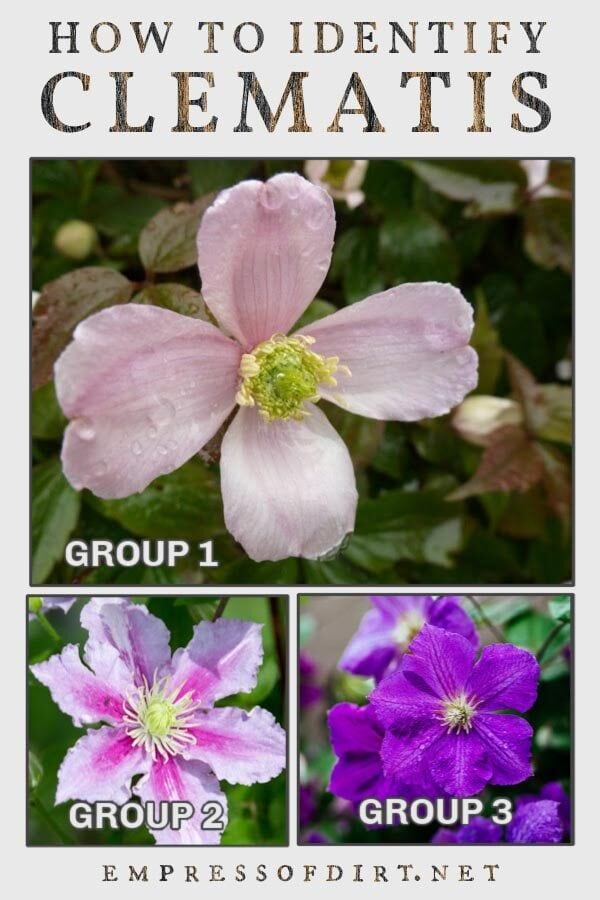 Clematis flower examples for group 1,2, and 3.