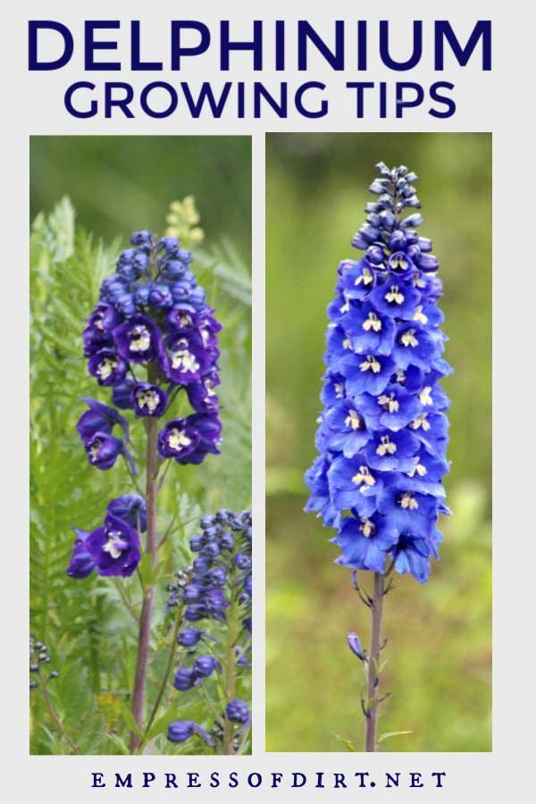 Purple and blue delphinium flowers in the garden.