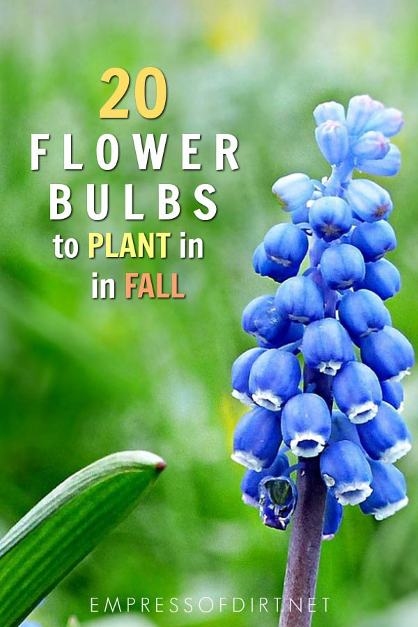 20 Flowering Bulbs To Plant In Fall