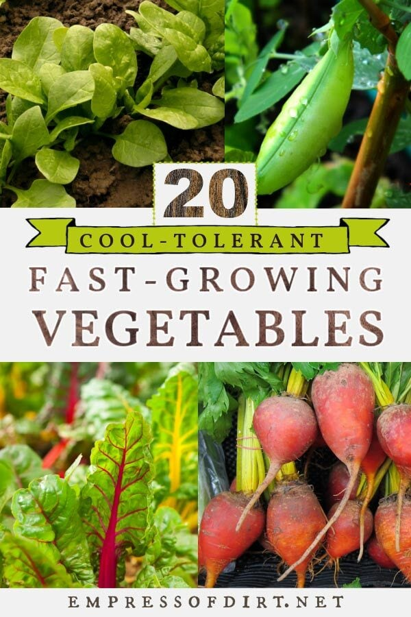 Fast-growing cool-tolerant vegetables include peas, spinach, chard, and beet greens.