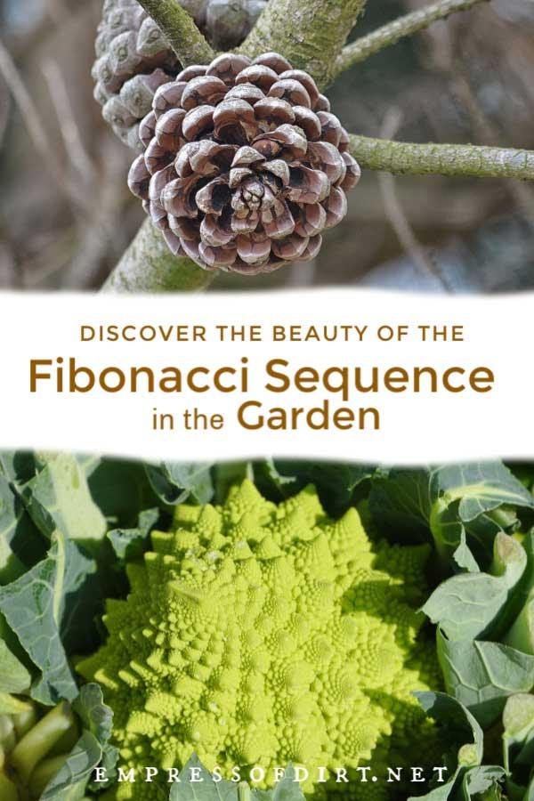 Pinecone and romanesco broccoli have Fibonacci spirals.