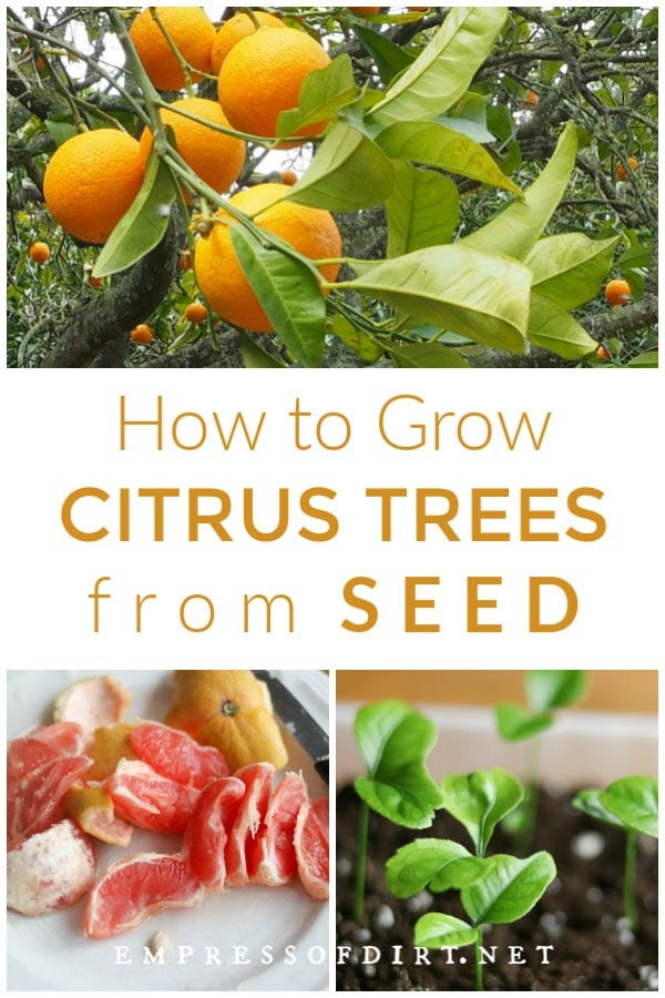 How to Grow Citrus Trees from Seed | Easy Method