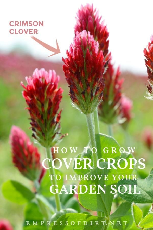 Crimson clover growing in the garden: a popular cover crop choice.