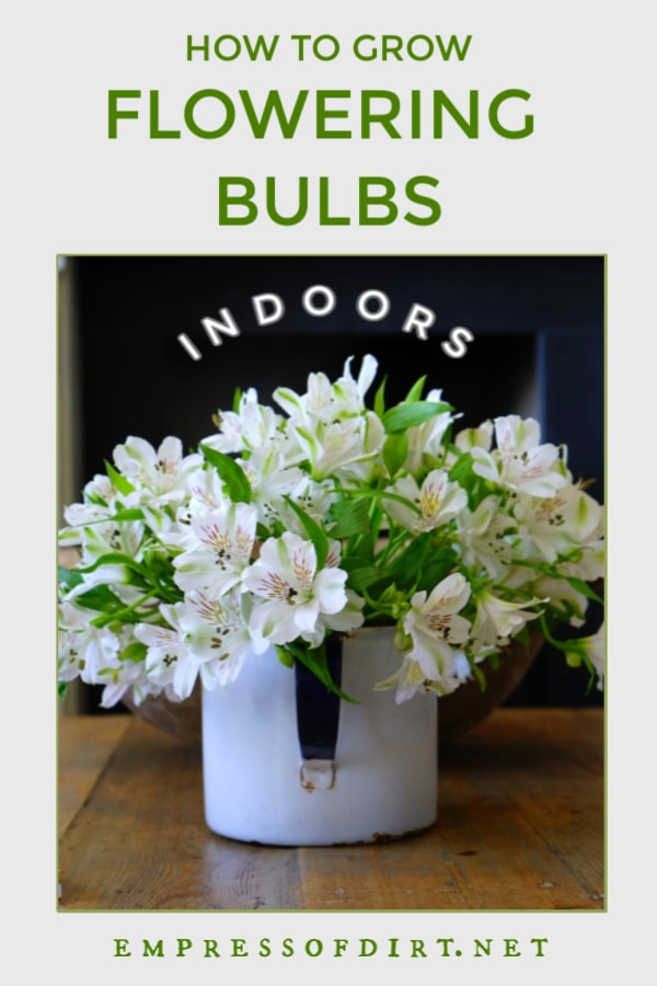 White flowering bulbs in container indoors.