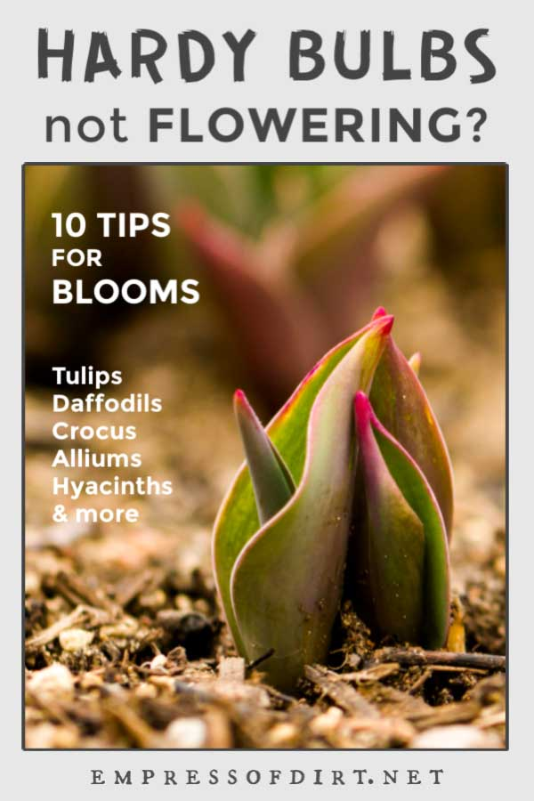 10 Reasons Hardy Bulbs Like Tulips Will Not Bloom Empress Of Dirt