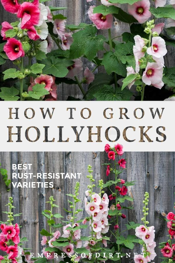 Hollyhocks (Alcea rosa) are known for getting rust disease but there are rust-resistant seeds available and tips to follow to reduce the problem.