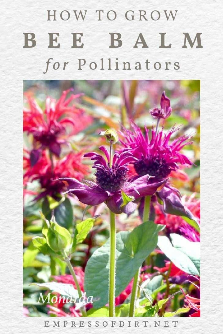 Pink and purple monarda (bee balm) flowers in the garden.