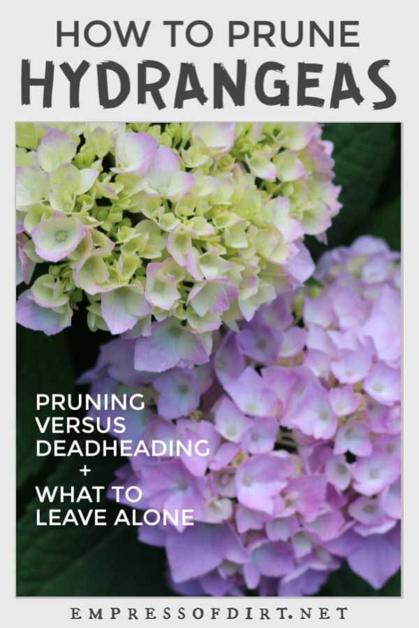 Hydrangea Pruning Guide for Beginners